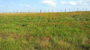 Texas Prairie: Some wildflowers between Waco and Mexia, Texas.