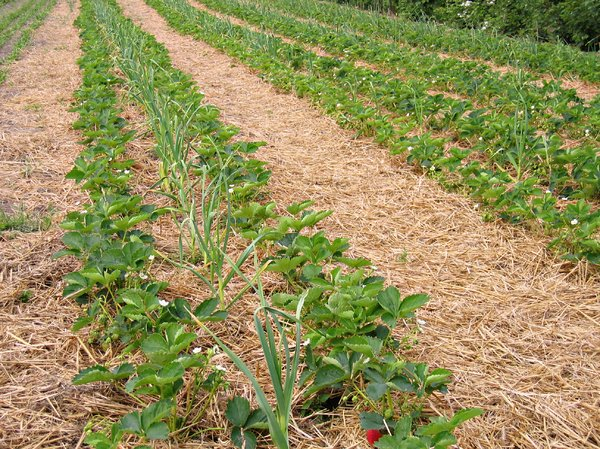 organic strawberry field: organic strawberry field