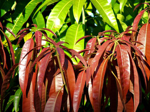 leaf colour contrast: sunlight and shadows on different coloured young and mature leaves