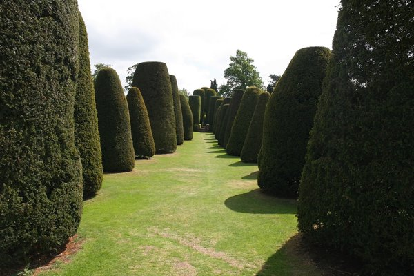 Clipped yew trees