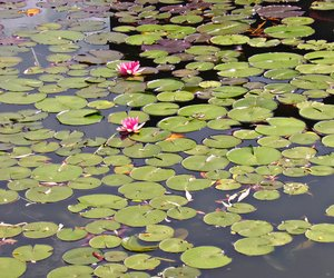 water lilys on a pond