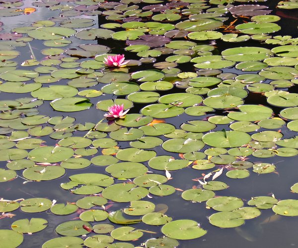 water lilys on a pond: water lilys on a pond