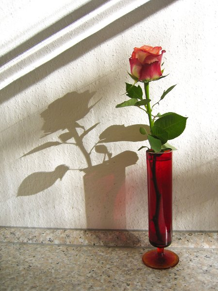 rose and shadow 2