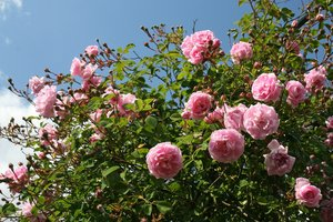 Pink roses: Part of a rose garden in West Sussex, England.