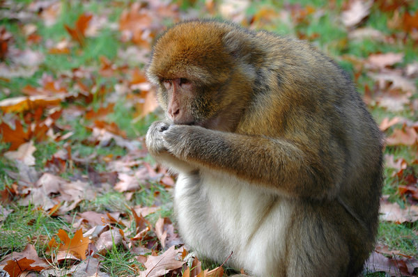 Eating barbary macaque monkey