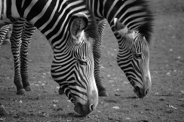 Zebra in Black & White