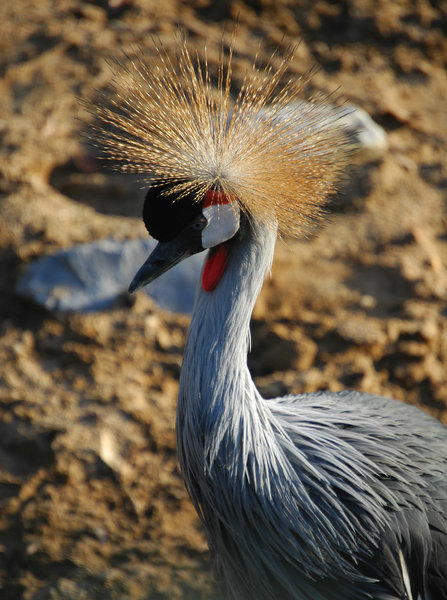 Crowned Crane: Crowned Crane spotted in Ouwehands Dierenpark Netherlands