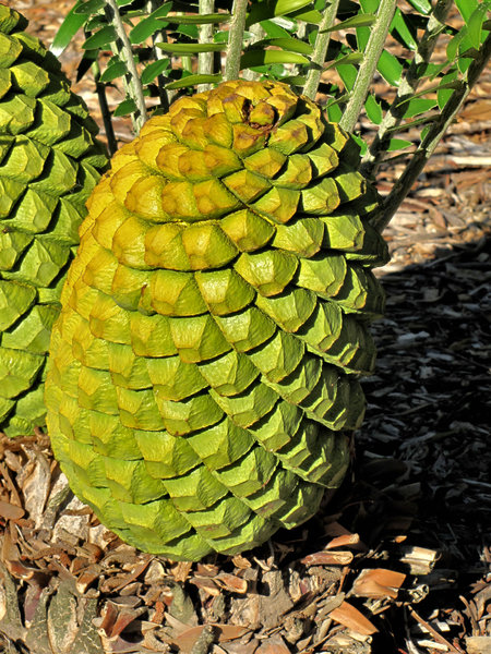 cycad cones2: almost artificial and painted looking cones of ancient cycad plant