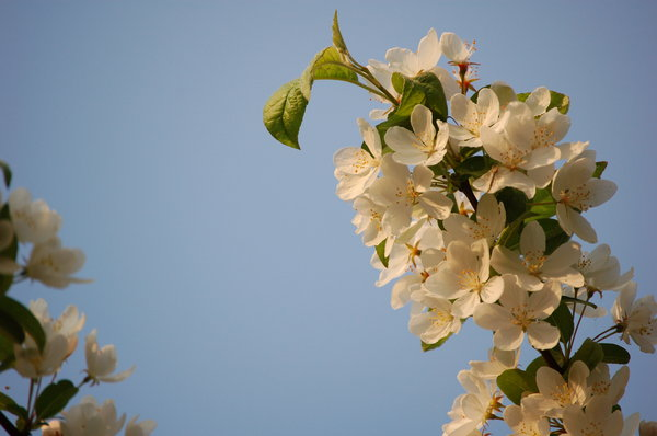 Cherry blossom 2: White cherry blossom in front of blue sky