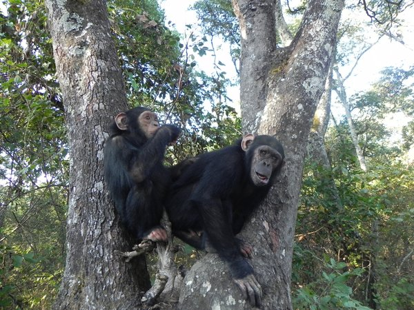 chimpanzees in zambia