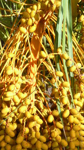 fruit: date,palm
