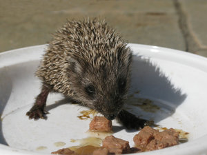 hungry hedgehog: none