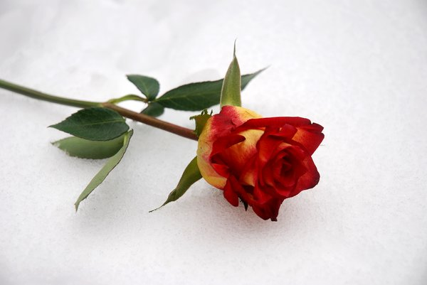 iced rose: a rose lying on snow