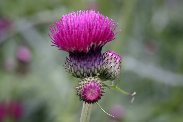 Thistle: Thistle top as it emerges in the summer