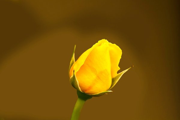 A Yellow Bud: no description