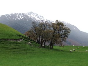 New Zealand Scene: Grass, sheep, mountains, Otago, New Zealand