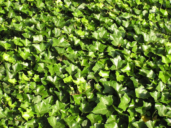 Ivy background: Just a background