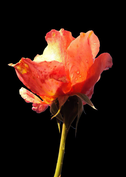 Flaming rose on black : Captures the transluscent qualities and vibrant colours and textures of the rose, just after a shower of rain and as the sun was rising