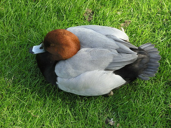 Common Pochard: Duck in London.