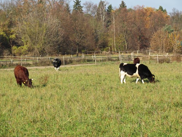 grazing cows 2: grazing cows 2