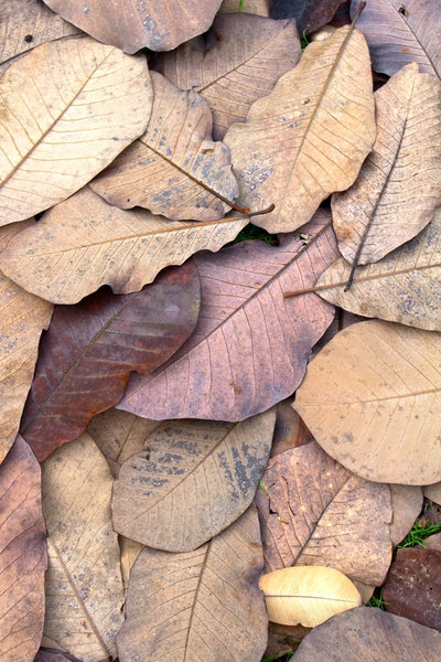 Magnolia leaf texture: Fallen leaves from a magnolia tree in autumn.