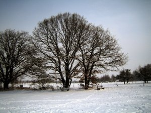 oaks in winter: This was the first snow in the year. It is a wonderful calm atmosphere.