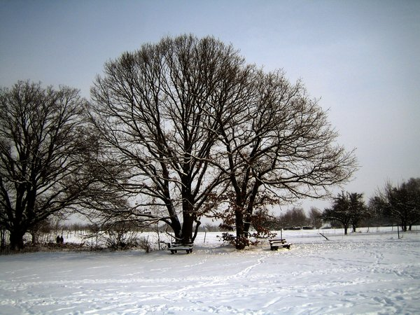 oaks in winter