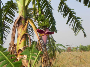 banana tree: none