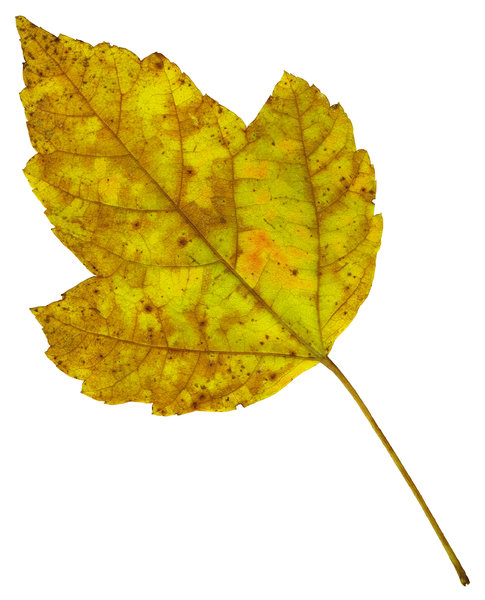 Leaf 24: An isolated fall leaf.