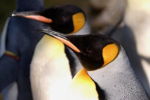 Penguins: Penguins in close up.