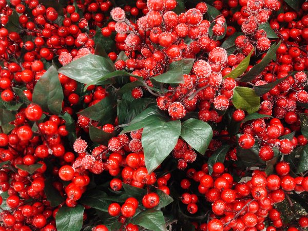 Christmas Berries for decorati: Red, frosty berries. Artificial.