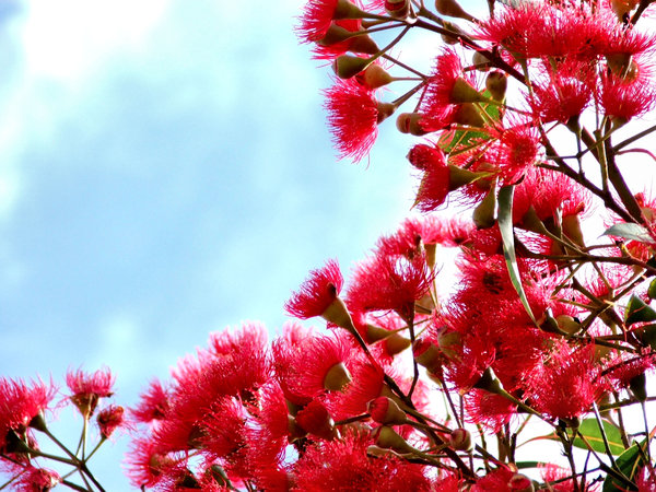 red gum tree buds & blossoms