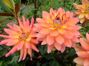 Dahlias: summer flowers