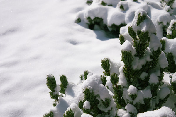 Snow with a small pine tree: A small pine tree covered under a big layer of snow.
