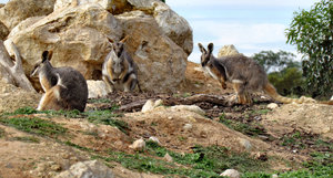 yellow-footed rock wallaby5
