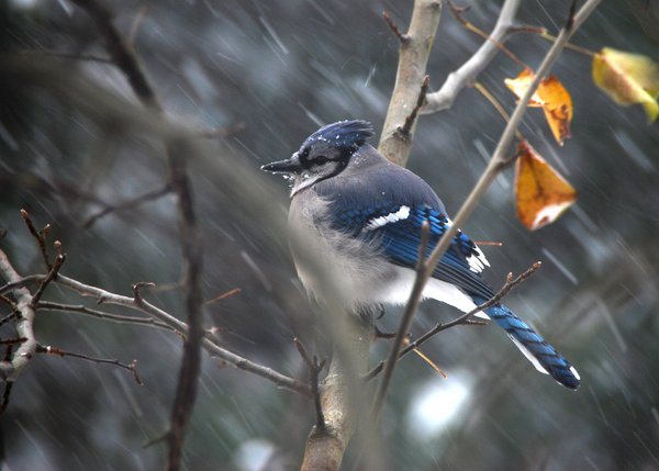 Blue Jay in Blizzard
