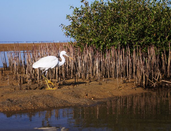 Mangrove forest and a bird: mangrove - shrub to moderately large tree that grows in brackish water along the seacoasts of Africa. Tis photo was taken in Marsa Alam