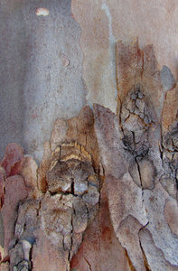 peeling bark textures7: texture and appearance variations of bark on self-shedding eucalypt tree