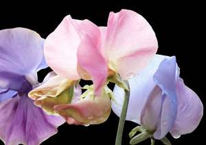 Sweetpeas on black