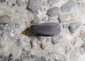 Red-necked Footman moth: Moth spotted on the road in Scotland.