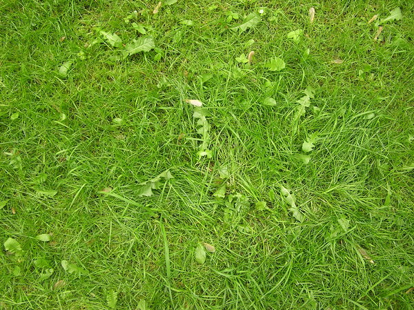 Fresh grass: A fresh green grass.