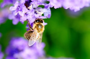 Lavender bee: Bee hanging from lavender flowers