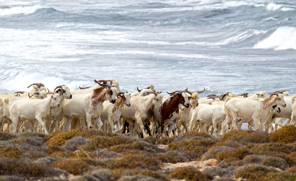 Goats by the coast
