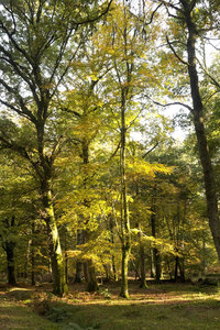 Autumn forest: Forest in Hampshire, England, in autumn.