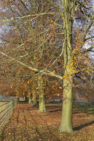 Beech trees in autumn