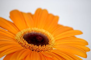 gerbera: gerbera flower on white background