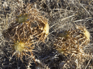 Dry spiny thistles