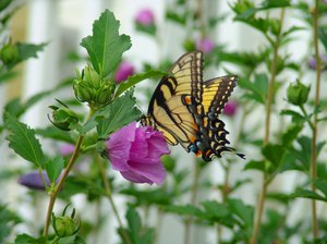 Flutter Delight: Eastern Tiger Swallowtail - Papilio glaucus makes a delightful companion to the Rose of Sharon flower bush in the garden. Mid Summer - eatern United States
