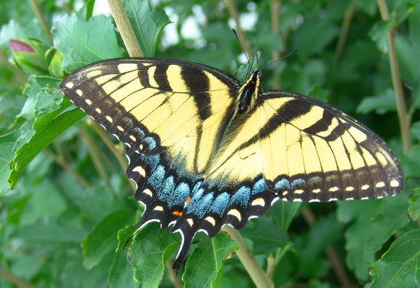 Flutter Magic: Eastern Tiger Swallowtail Papilio glaucus - enjoying a brief rest on a bush.