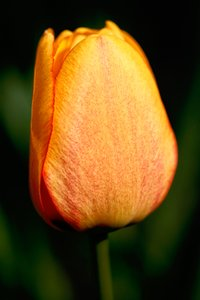 Orange Tulip: Close-up of an orange tulip.